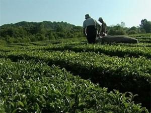 На Кубани выращивают самый северный чай в мире