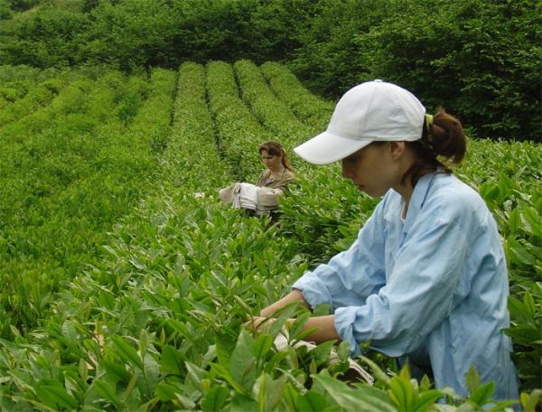 В Сочи начали сбор самого северного в мире чая