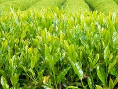 Краснодарский чай вырос благодаря поддержке государства