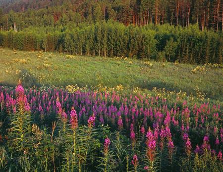 В Якутии будут выпускать целебный иван-чай
