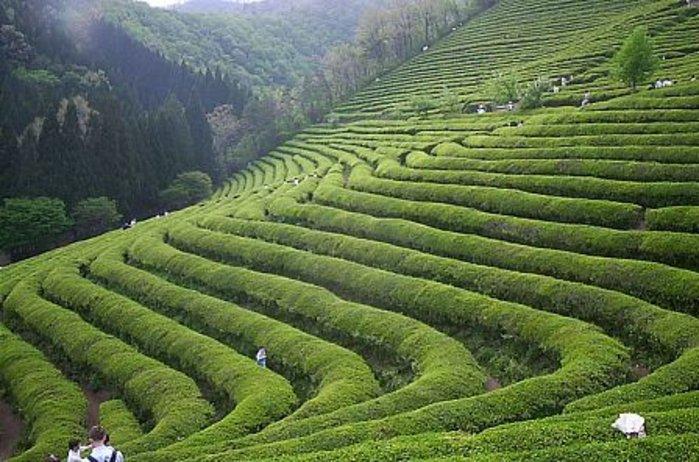 Как заварить зеленый чай правильно