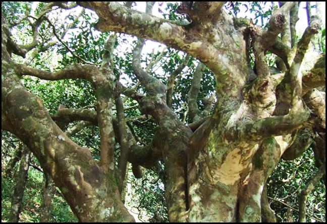 Свойства чайного дерева