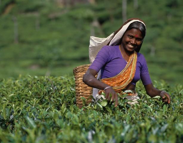 Что представляет собой цейлонский чай?