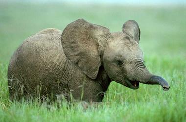 Чайные плантации в Индии пострадали от слонов
