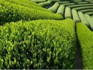 Лосьоны и тоники из зеленого чая