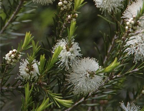 Может ли масло чайного дерева избавить от прыщей и проблемной кожи
