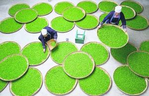 Зеленый чай не должен стоять больше года