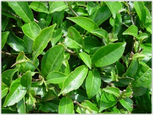 Зеленый чай полезен далеко не всем