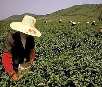 Делегация чайных предприятий Хунань отправится в столицу Казахстана, где примет участие в Международной выставке