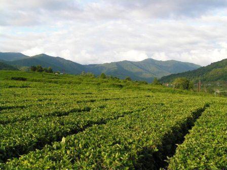 ОАО «Мацестинский чай» приступило к сбору чайного листа 22 мая