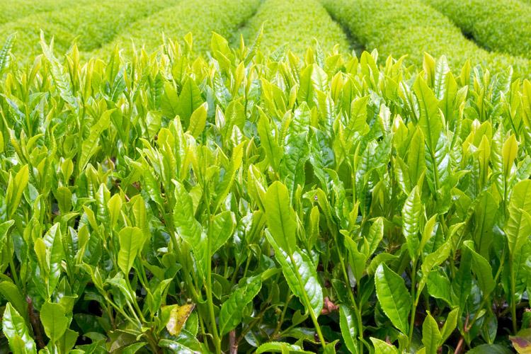Цены на чай выросли на 1,6 %