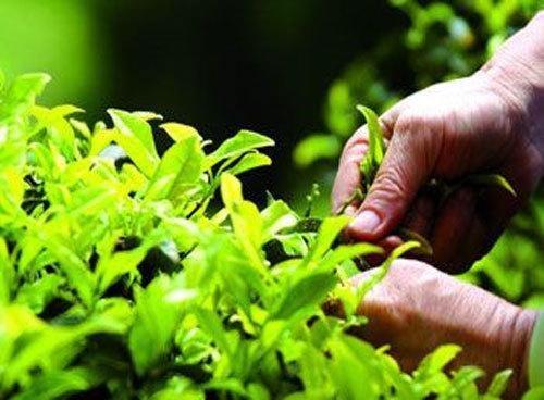 В городе-курорте Сочи собран первый в этом году урожай чая