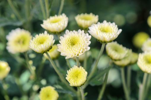 Чай из хризантемы поможет очистить организм