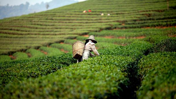 Чай- одна из главных сельскохозяйственных культур Китая