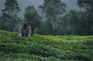 Кенийский чай будет стоить дешевле в Казахстане