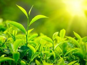 Зеленый чай поможет омолодиться