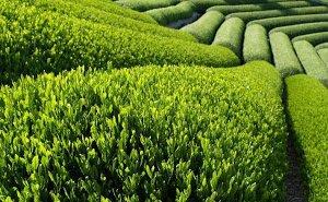Сочинский чай получил международный сертификат качества