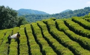 Власти Сочи получили сертификат на соответствие экологически чистой продукции по производству чая