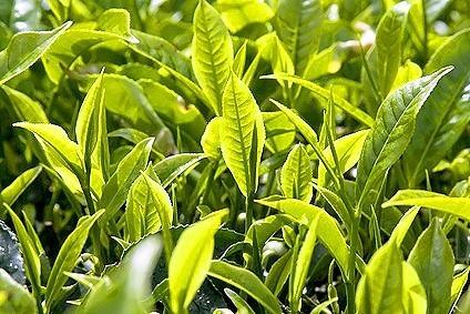 На данный момент в Сочи собрали 150 тонн чая
