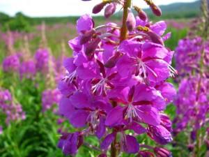 В конце июня в зеленых зонах Новосибирска и окрестностей зацвел ярко-пурпурными цветами иван-чай