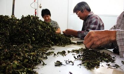 Северная Осетия будет фасовать чай