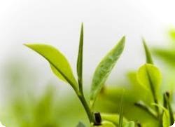 Зеленый чай поможет избавиться от рака
