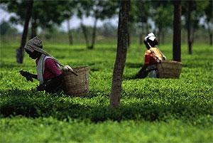 В Индийском чае обнаружены вредные вещества