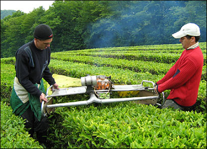 В Краснодарском крае плантация чая заросла сорняками