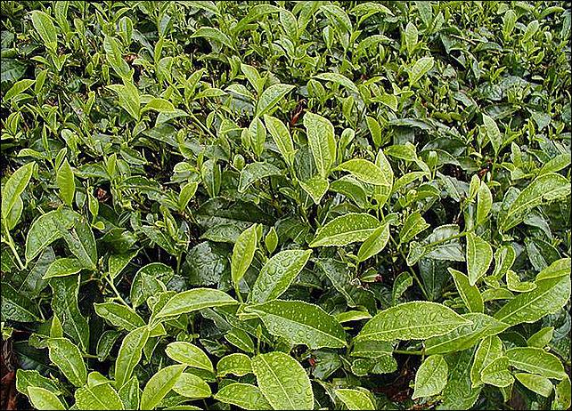В сочинский чай попали сорняки