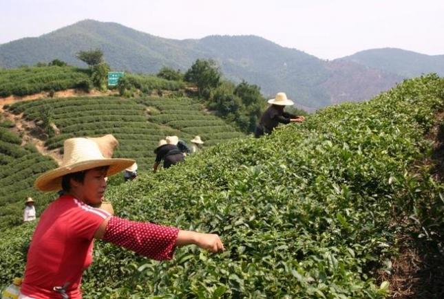 Как не нужно пить чай у знатоков чайной церемонии – китайцев