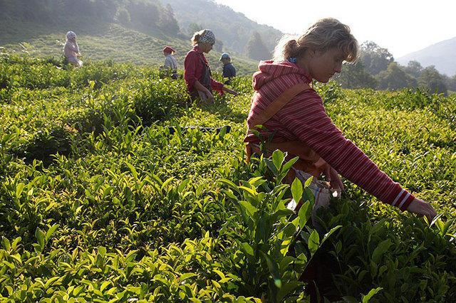 347 тонн чая собрали местные фермеры в Сочи в этом году