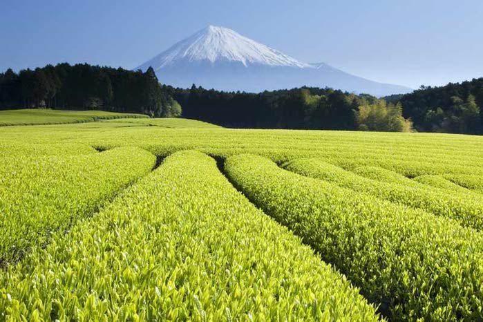 Зеленый чай поможет избавиться от многих заболеваний