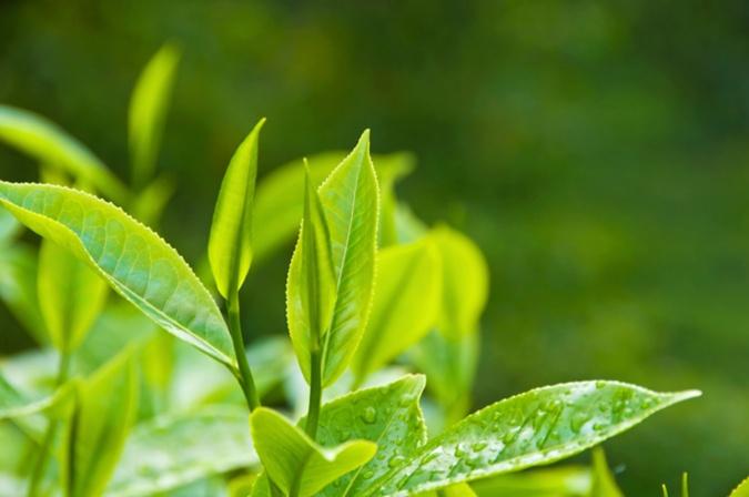 Зеленый чай поможет избавиться от ожирения