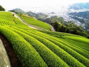 Зеленый чай может