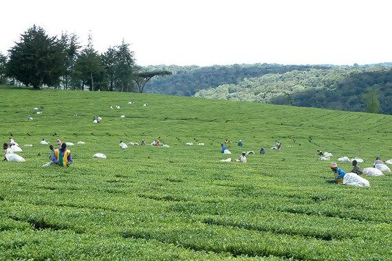 Мировые цены на чай с начала года выросли на четверть из-за засухи в Кении