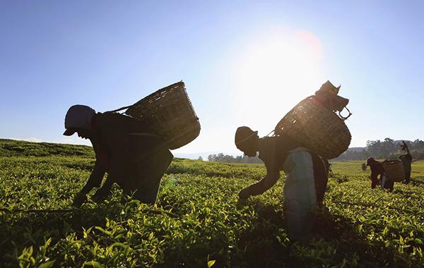 Мировые цены на чай с начала 2015 года выросли на четверть