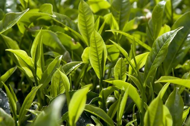 В Шотландии впервые выращен собственный чай