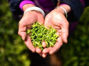 Китайский фермер из провинции Сычуань, производящий самый дорогой чай в мире, приступил к сбору нового урожая