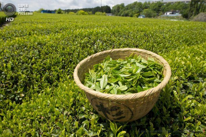 Немного о пользе зеленого чая