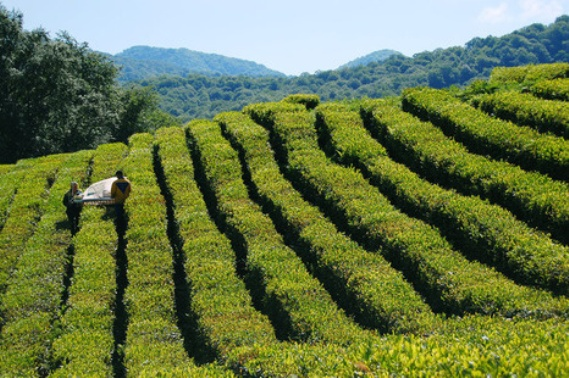 В Сочи начинается сбор чая
