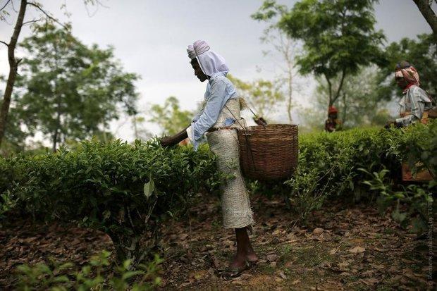 Изменение климата негативно влияет на чайные плантации