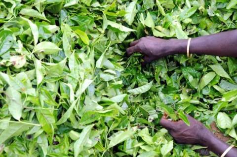 Климат изменяет вкус индийского чая