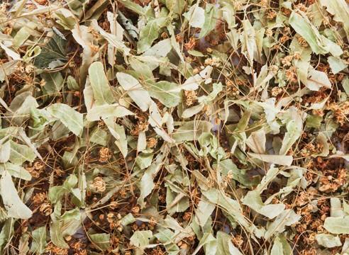 Чай из липового соцветия защитит от многих болезней