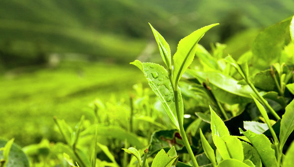 Россия и Индия договорились о совместном производстве чая