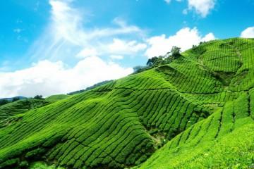 Сочинский чай нескольких производителей получили золотую медаль и диплом на Международном фестивале