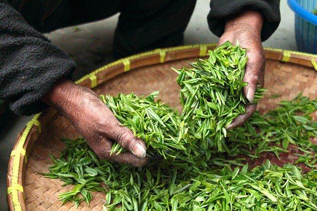Обнаружен самый древний чай на планете