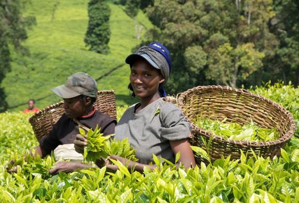 Кения изменит налоги на чай
