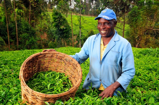 Кения рассматривает возможность запуска первых в мире фьючерсных контрактов на чайный лист