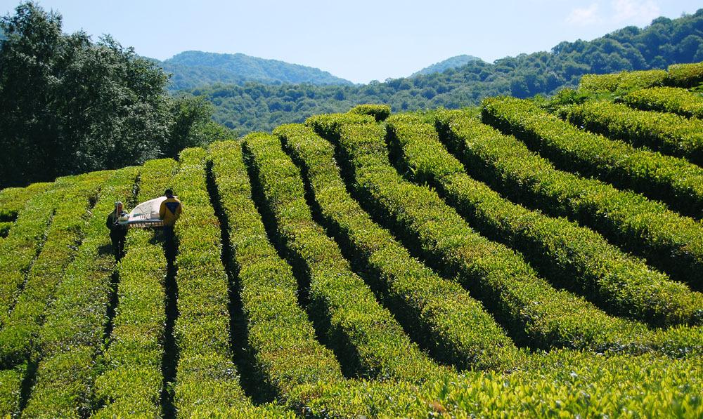 В Великобритании будут пить знаменитый сочинский чай