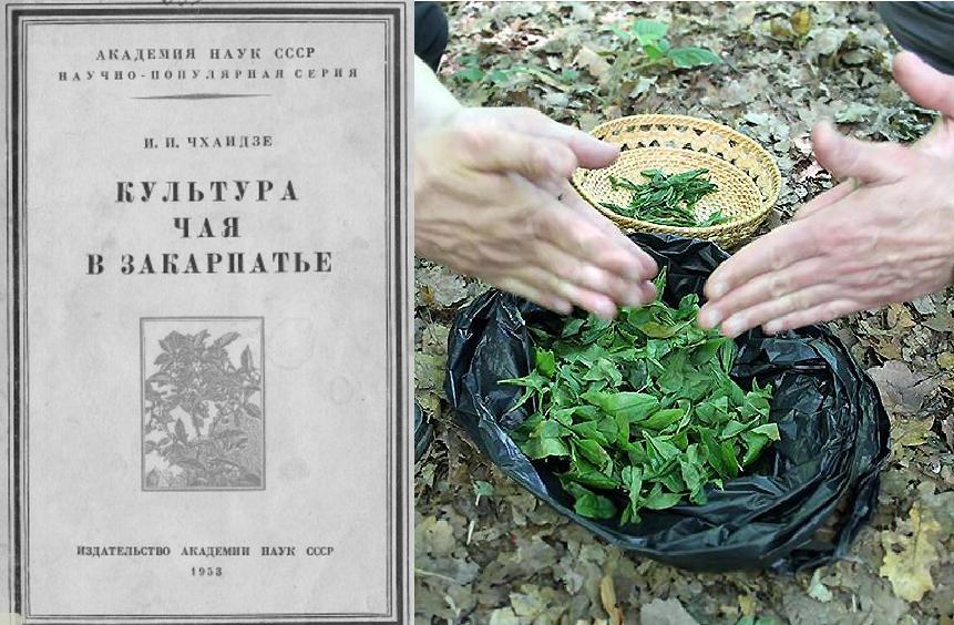 Полтавский селекционер собирается выращивать чай